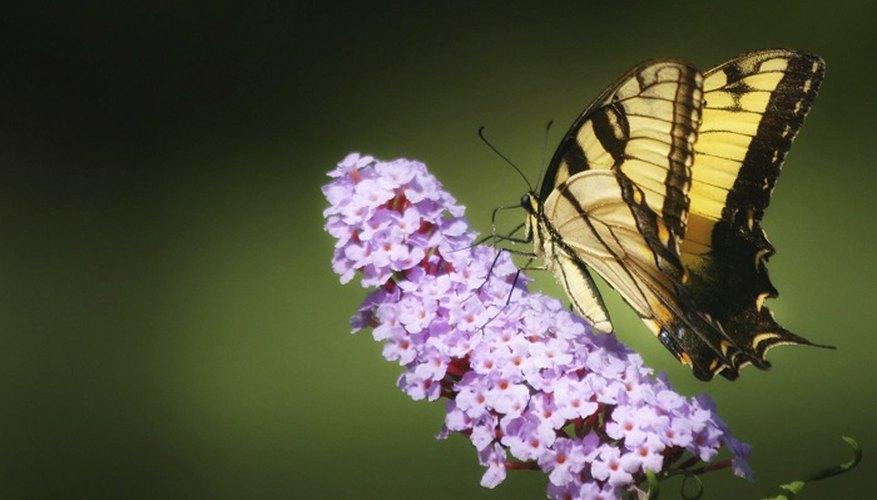 Dwarf buddleia attracts butterflies and birds.