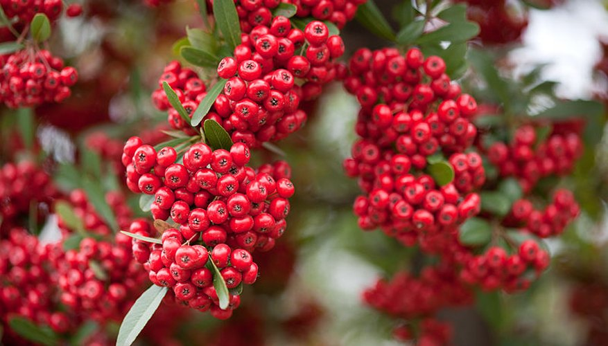 Pyracantha's common name is