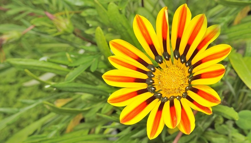 Gazanias are low-growing but feature large flowers in spring and summer.