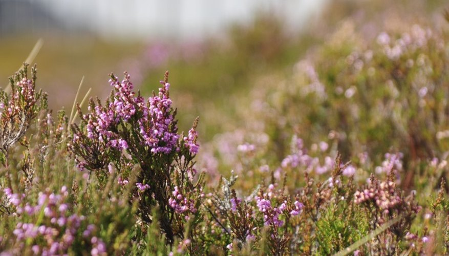 Wild heathers are managed by burning, grazing and mowing.