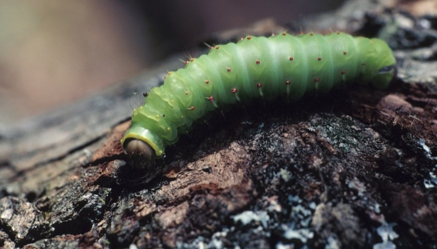Caterpillars feed on plant material and may pose a problem in gardens.