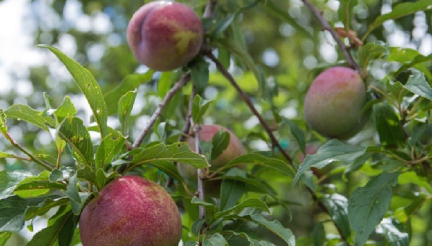 Plum trees can be identified by their leaves even if they aren't bearing fruit.