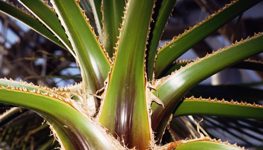 Soothing aloe vera can help reduce the pain of friction burns.