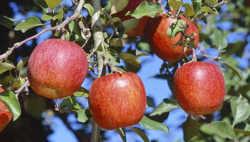 Grow your own pink lady apples from seed.