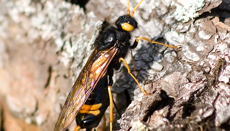 The horntail wasp.