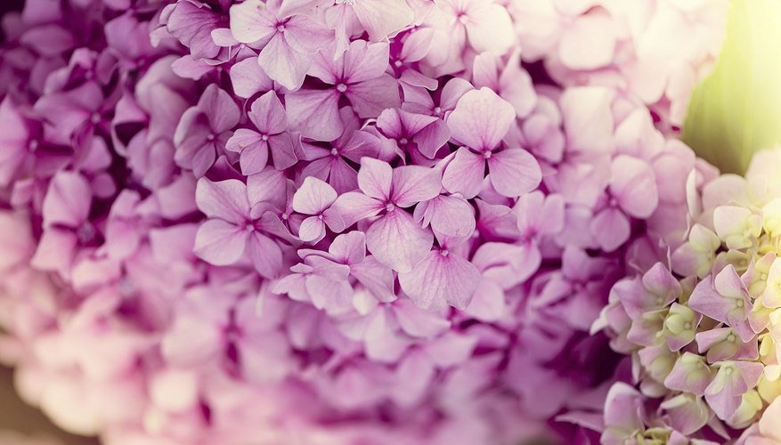 Hydrangeas bear their flowers in natural bouquets.