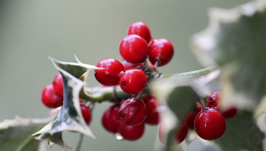 Holly berries brighten the often bleak-looking landscape in the winter.