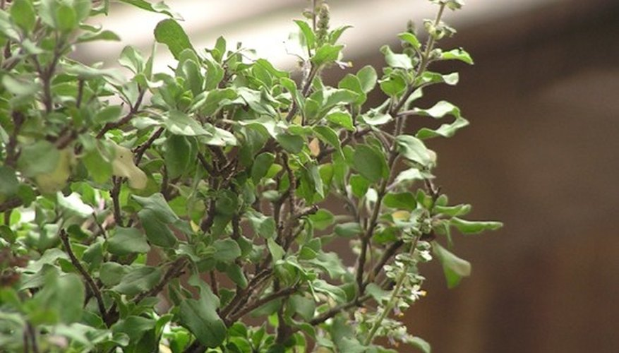 The holy basil is also used in Thai cuisine.