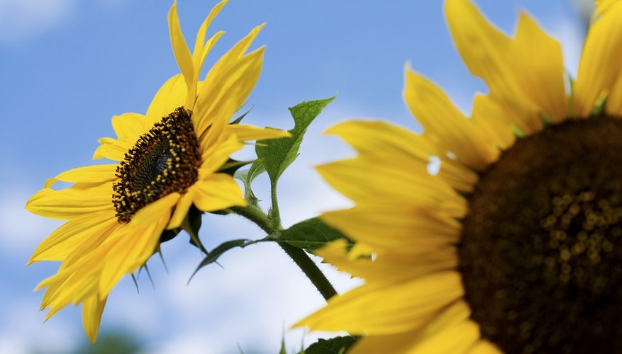Sunflowers adapt and grow within a wide range of climate conditions.