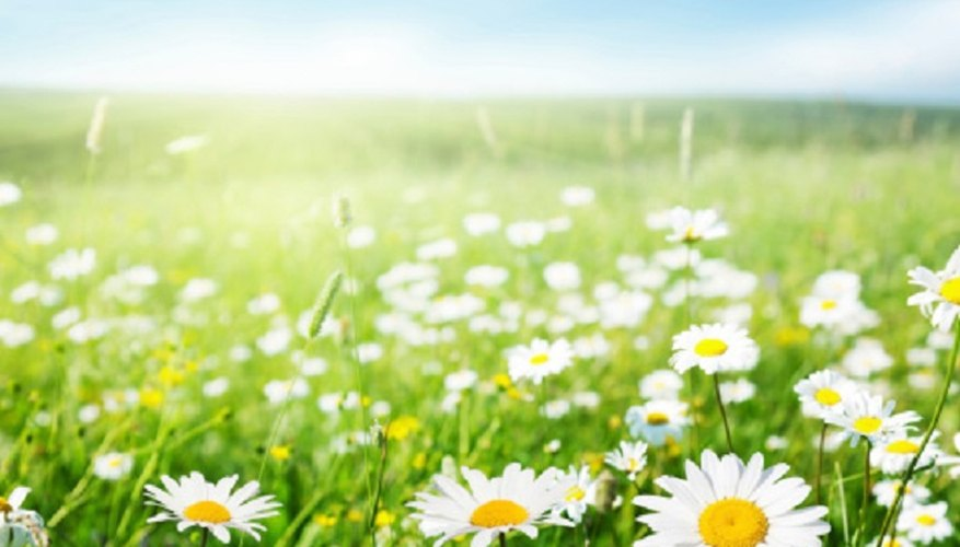 Regardless of species, all daisies can be classed as sexual or asexual reproducers.