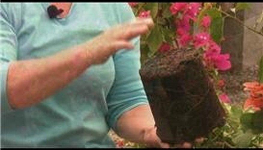 Planting Bougainvilleas