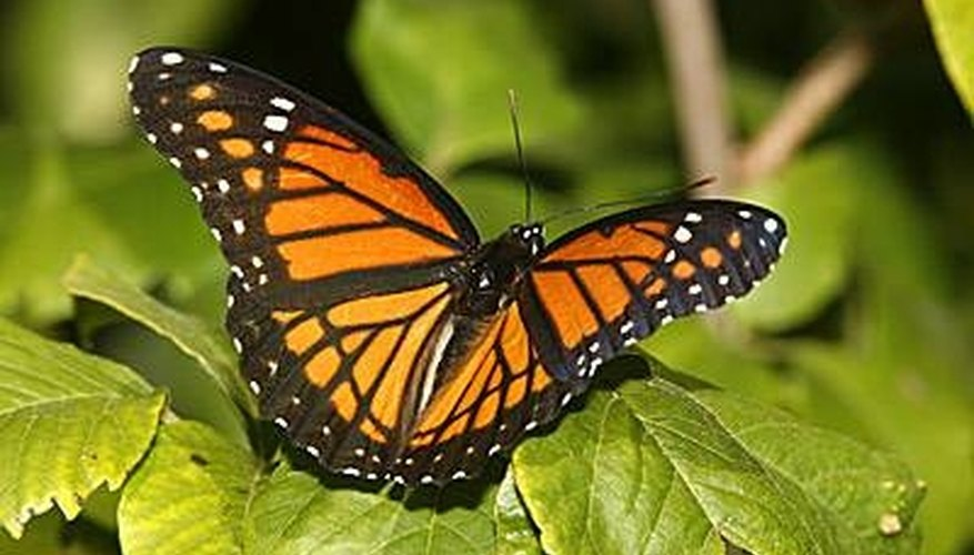 The Viceroy butterfly has markings almost identical to the Monarch butterfly.