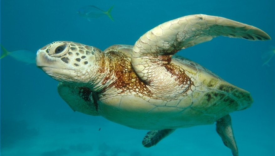 A sea turtle swims in the Great Barrier Reef.