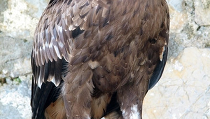 The golden eagle has an all brown body.