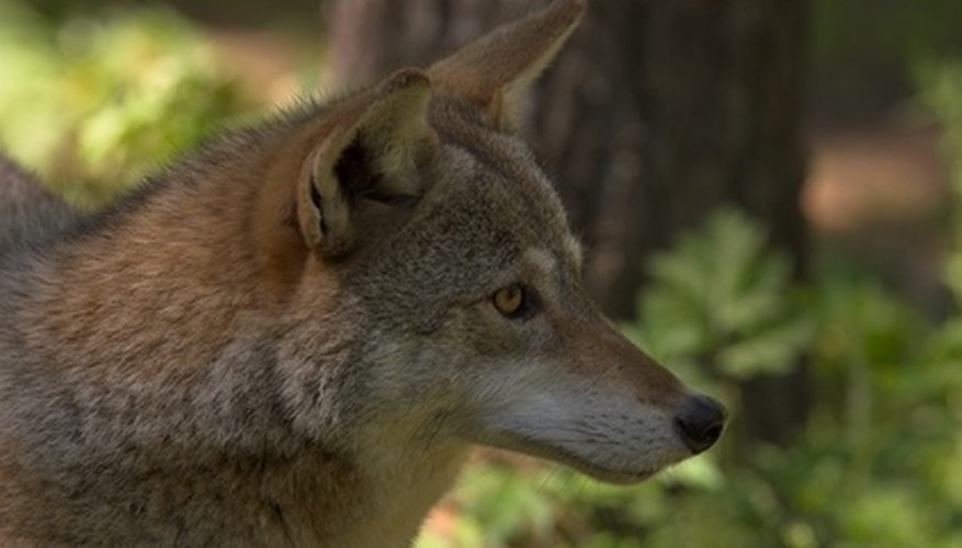 It is legal to hunt coyote all year long in West Virginia.
