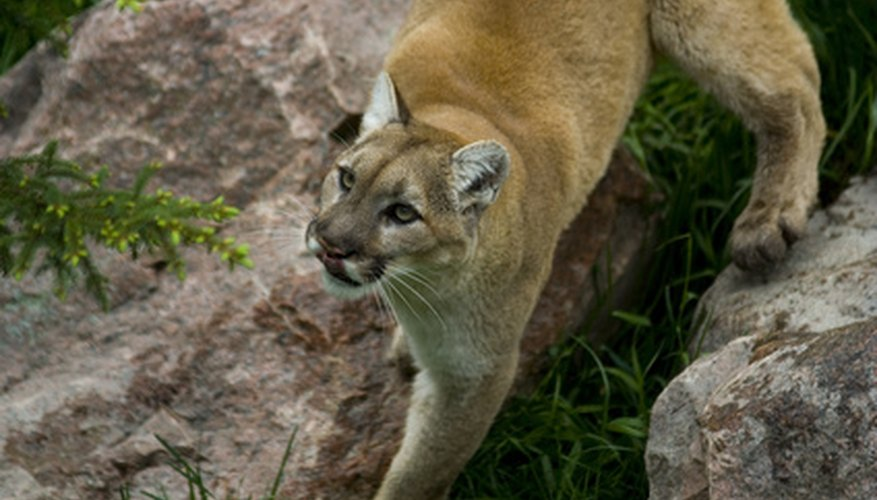Cougars in North Carolina are usually in captivity such as zoos.