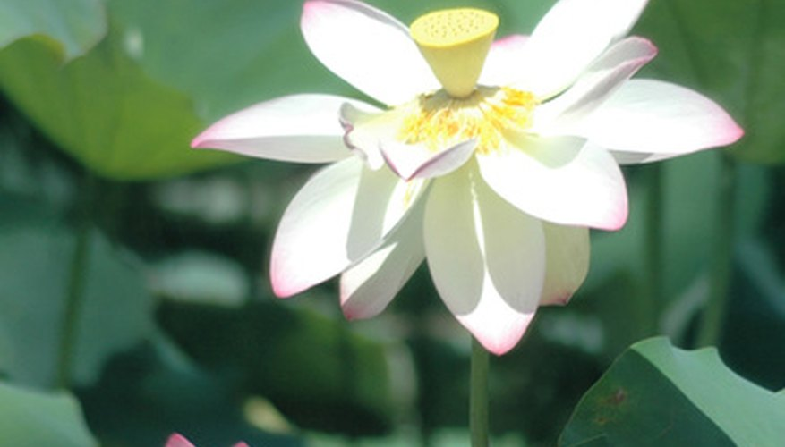 The white lotus represents purification.