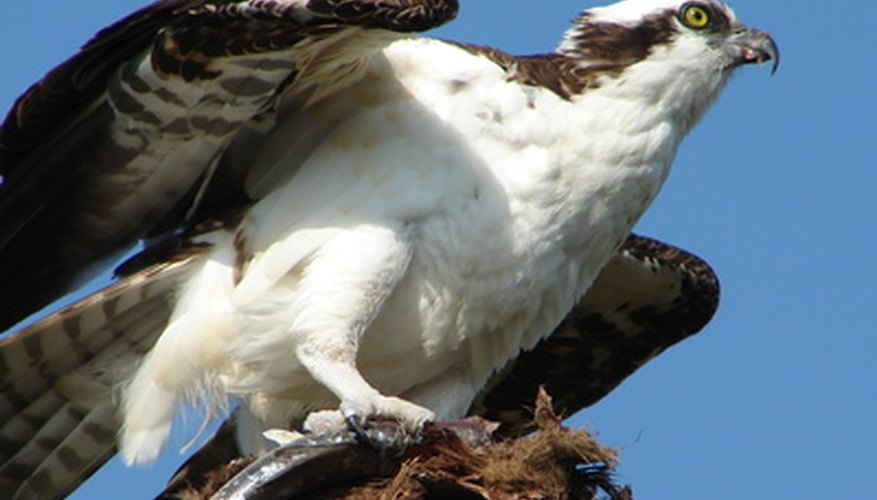 "The osprey has the nickname of ""fish hawk."""