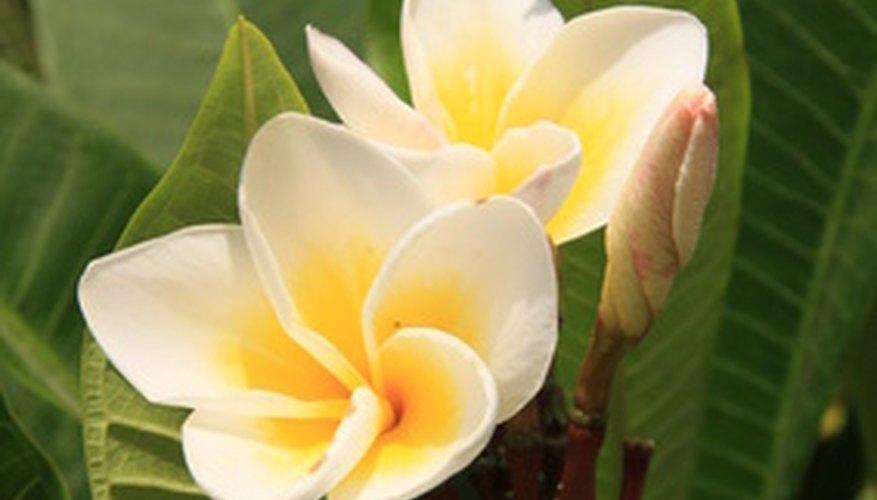Sweet plumeria blooms cluster on Hawaiian trees growing up to 30 feet high.