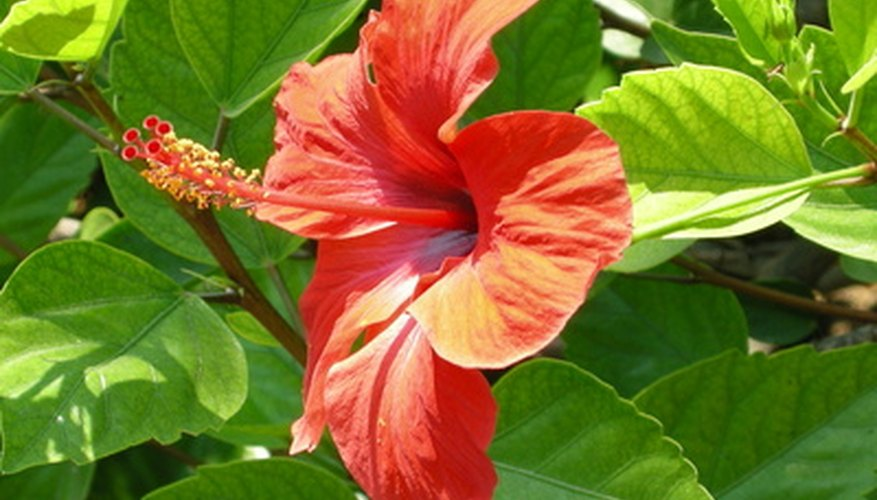 The bright hibiscus is an exotic bloom commonly seen in Hawaii.