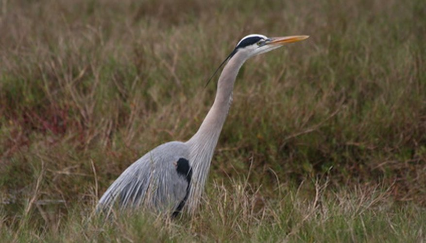 The great blue heron has a long bill.