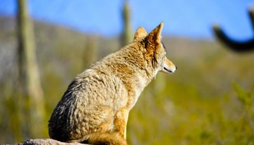 Coyote looking for food