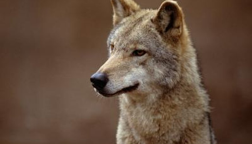 Coyote Looking outward