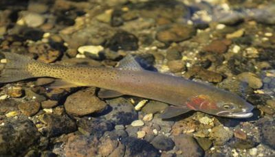 Wild trout have a keener sense of smell and are more finicky when it comes to bait.