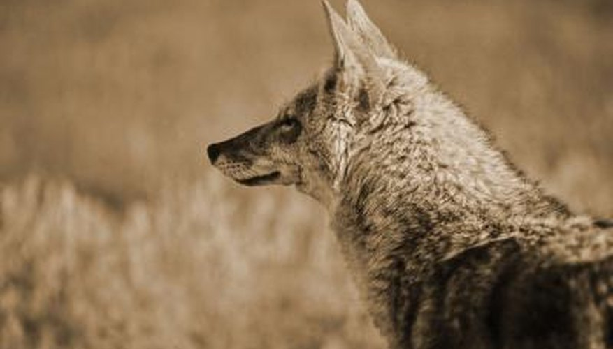 Coyote smelling air