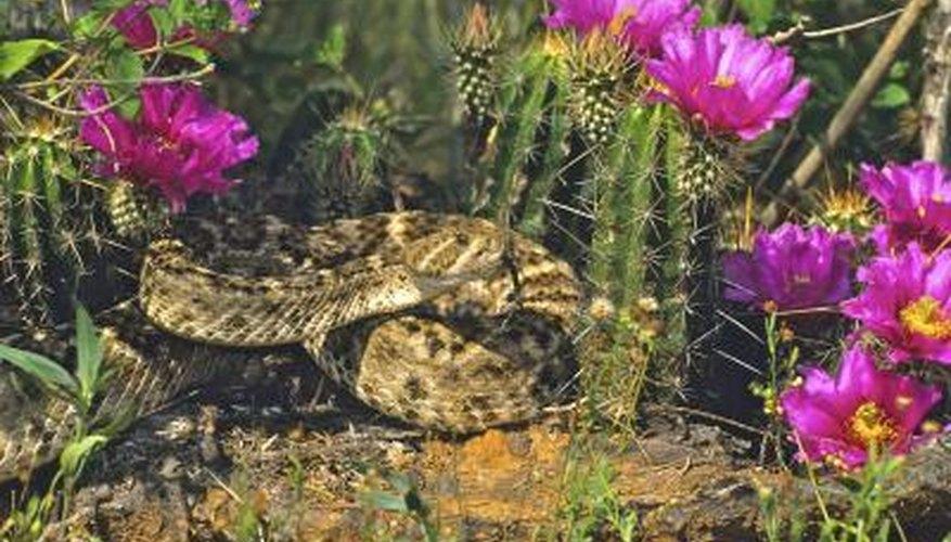 Texas has rattlesnake roundups.