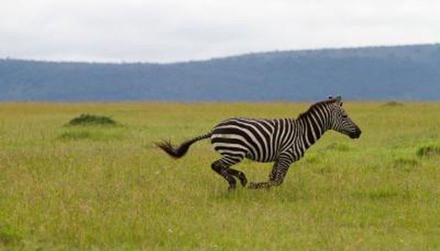 Zebras may reach speeds of 40 mph.