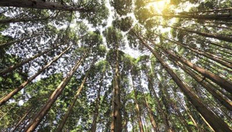 Tall Cedar trees in forest.