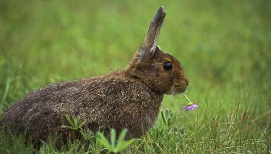 A rabbit chews on clover.
