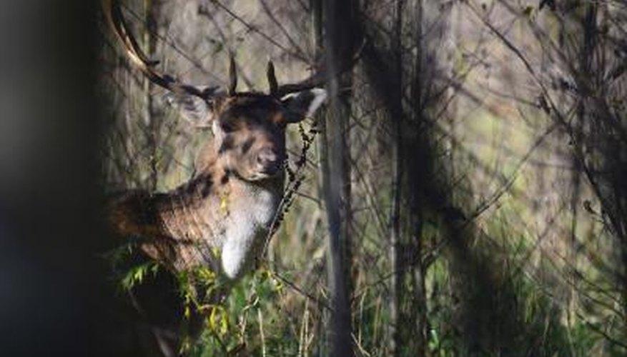 Deer have oval shaped eyes.