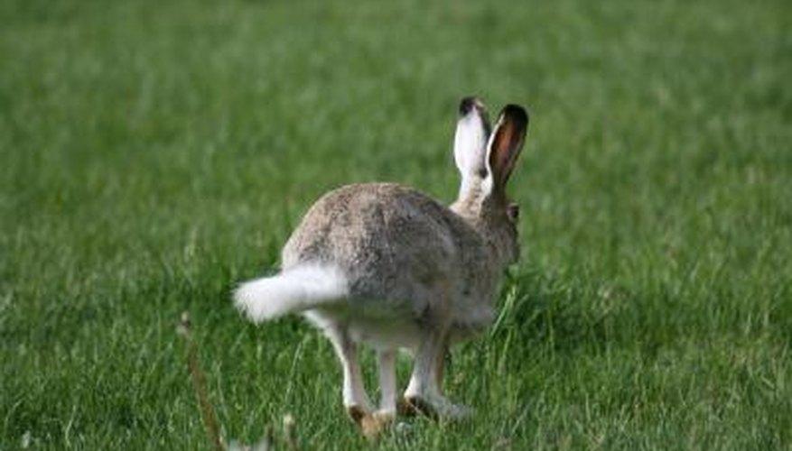 A rabbit hops across the lawn.
