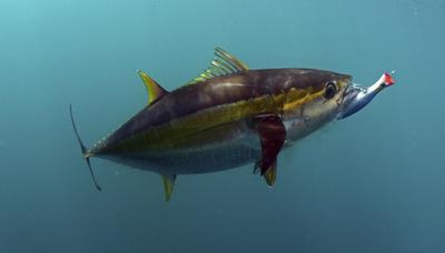 Yellowfin Tuna bites a fishing lure