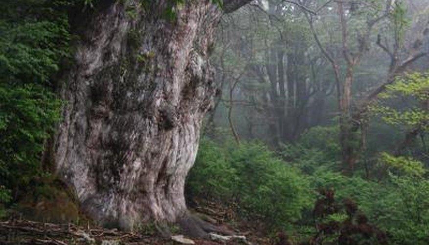 Ancient Japanese Cedar tree.