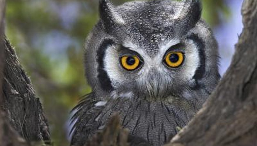 Owls have large pupils.