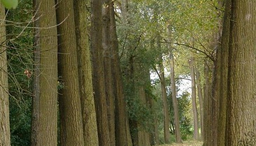 Poplars are vulnerable to pests and diseases.