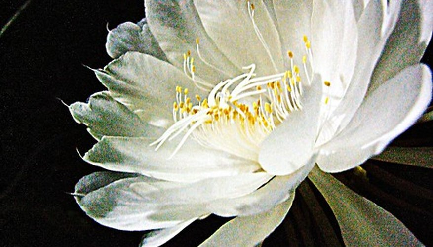 An epiphyllum in bloom.