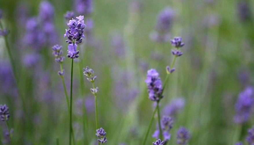 Healthy, fragrant Lavender