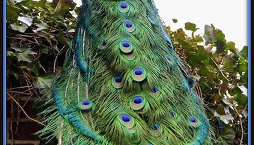 The peacock's tail is designed for courtship displays.