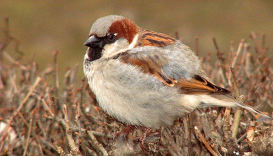 The house sparrow is a common bird pest.
