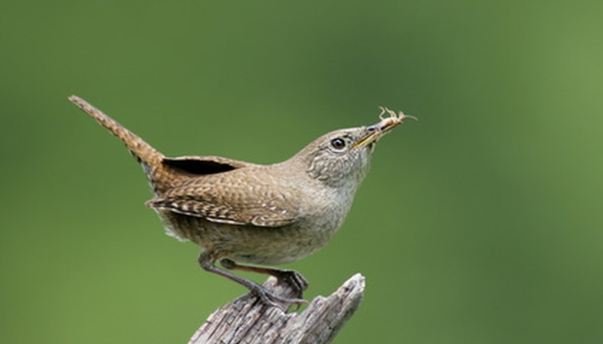 Insectivores like wrens need lots of protein.