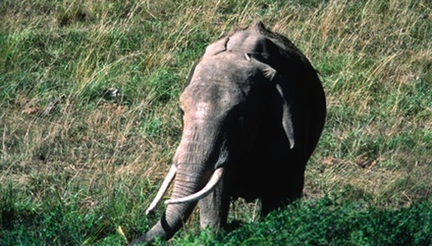 Elephant tusks are made of ivory, which is a very valuable commodity.