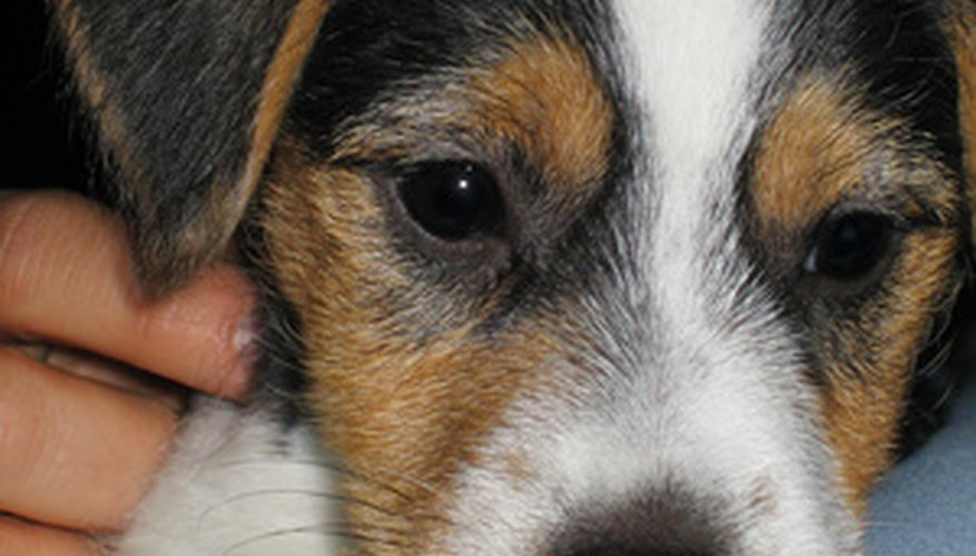 Jackabee puppies, a mixture of a jack russell terrier and beagle, are typically intelligent and easy to train.
