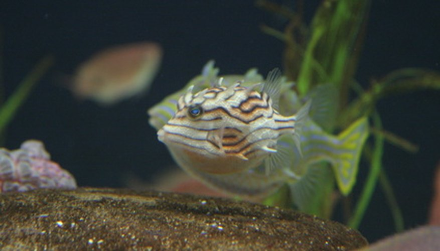Puffer fish aren't so intimidating until they puff into a spiky ball.