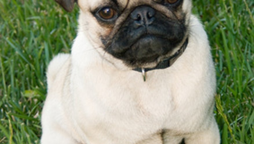 You may only have to stand by during your pug's delivery, but be ready in case of complications.