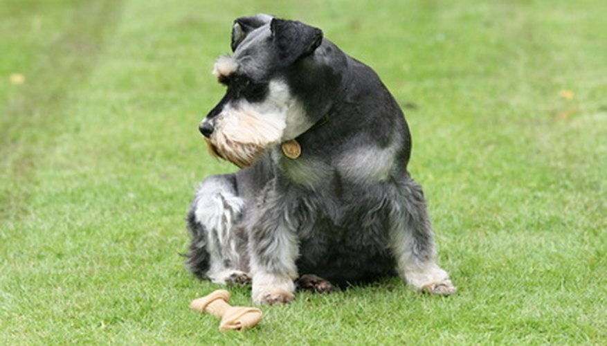 Miniature schnauzers can inherit a class of neurological disorders known as NCLs.
