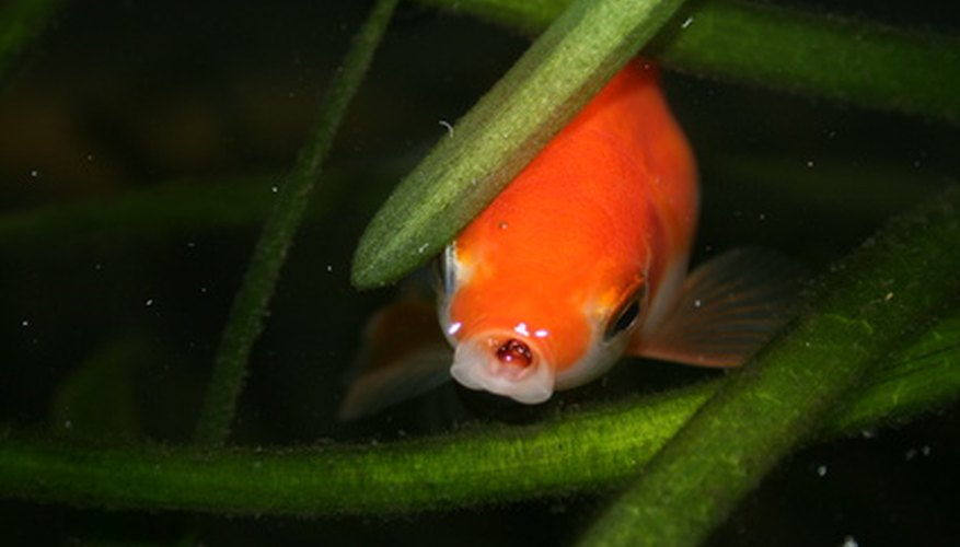 Goldfish require more than pelleted food to thrive.